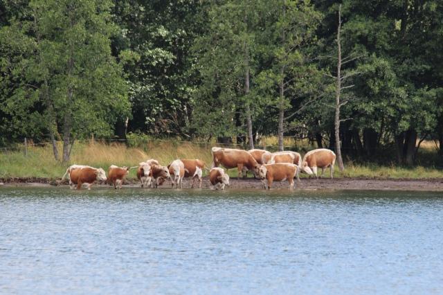 Matkalla lehmät olivat laiduntamassa rannalla.